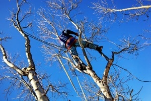 A Certified Arborist in Peoria IL cutting branches from a tree