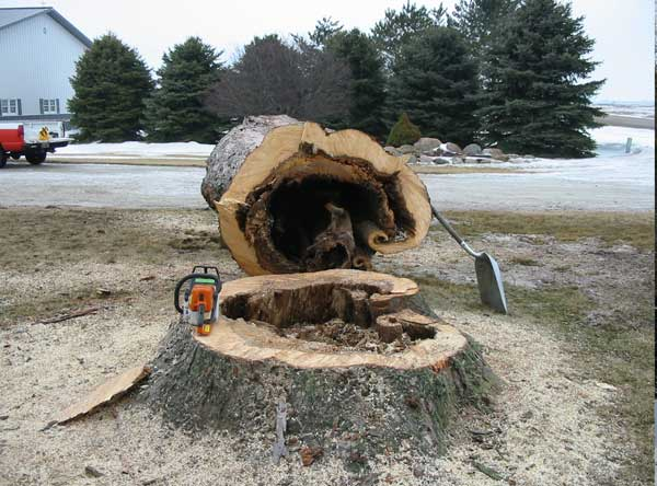 Very little solid wood left to support such a large tree.