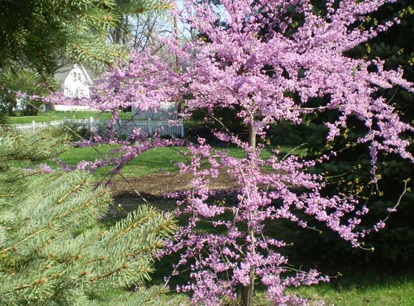 Blooming Redbud planted near conifers.