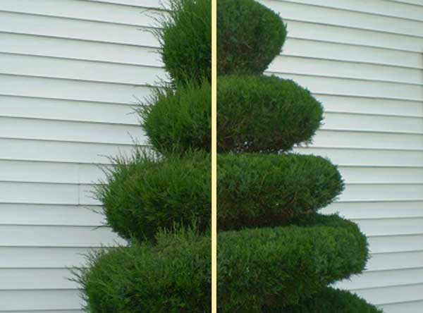 Before and after trimming of a large, decorative shrub.